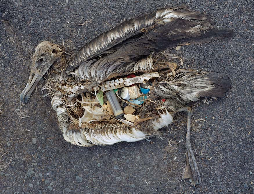 A dead albatross chick with plastic trash in its stomach